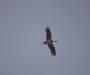 Οι Μαυροπελαργοί φτεροκοπούν στη Κοιλάδα του Ινάχου