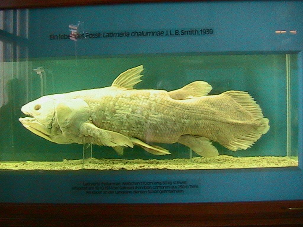 Ο Κοιλάκανθος (Μουσείο Φυσικής Ιστορίας της Βιέννης)