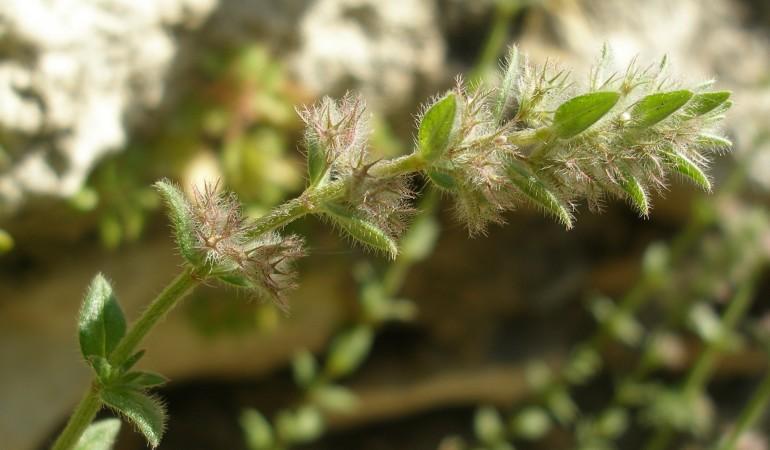 Micromeria acropolitana: Το σύμβολο της ελληνικής βιοποικιλότητας
