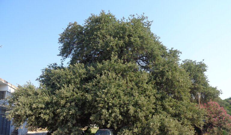 Βελανιδιά Ραφήνας: Ένα μνημείο φύσης